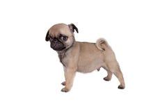 Carlino del cucciolo fotografia stock libera da diritti