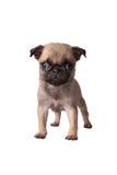 Carlino del cucciolo fotografie stock libere da diritti
