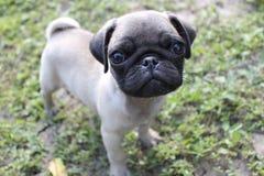 Carlino del cucciolo Immagine Stock Libera da Diritti