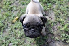 Carlino del cucciolo Fotografia Stock