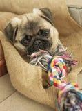 Carlino del cucciolo di cane e corda della corda Fotografia Stock