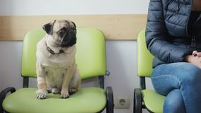 Carlino malato del cane con la zampa bendata nella linea alla clinica veterinaria, ai colpi della ragazza ed ai peccato il cane video d archivio