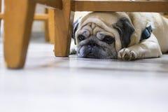 Carlino triste che si trova sul pavimento il cane è triste, sembrando riposarsi stanco dietro una sedia fotografia stock libera da diritti