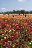 Carlsbad-Blumen-Felder stockfotos