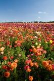 Carlsbad-Blumen-Felder stockfoto