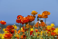 Carlsbad Flower Field. Close-up ranunculus in Carlsbad, California Stock Photos