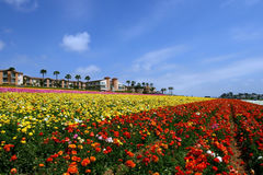 Carlsbad Flower Fields. In Carlsbad, California Royalty Free Stock Image