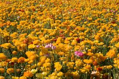 Carlsbad Flower Fields Stock Photos