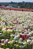 Carlsbad Flower Fields Royalty Free Stock Photography
