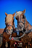 Carlsberg clydesdales horses Stock Photography