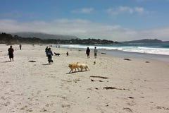 CARMEL-BY-THE-SEA, CALIFONIA; Los E.E.U.U. - 16 de mayo de 2016: Del perro playa fiendly imágenes de archivo libres de regalías