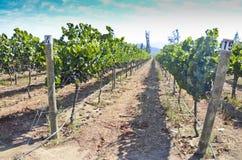 Carmenere vingård Royaltyfria Foton