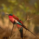 Carmine bee eater. In full breeding plumage,Botswana Stock Image