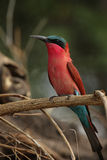 Carmine Bee-eater. (Merops nubicoides) in the Okavango Delta, Botswana stock photo