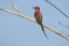Carmine bee-eater, Merops nubicoides Royalty Free Stock Photography