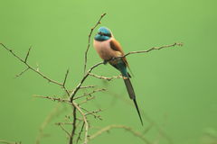 Carmine bee-eater Royalty Free Stock Photo