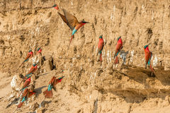 Carmine Bee Eaters Royaltyfri Foto