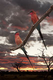 Carmine Bee Eaters - Botswana. Two Southern Carmine Bee Eaters (Merops nubicoides) at sunset in Chobe National Park in Botswana Royalty Free Stock Image
