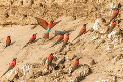 Carmine bee eaters in the Southern Luangwa. National park at sunset royalty free stock image
