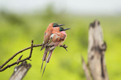Carmine Bee Eaters. A pair of Carmine Bee Eaters perched on a  stick Royalty Free Stock Image