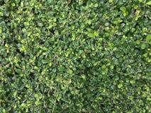 Carmona φύλλων τοπ άποψης το φρέσκο πράσινο retusa το τσάι στοκ φωτογραφία
