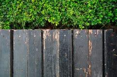 Carmona retusa (Vahl) Masam and wooden sidewalk Stock Images