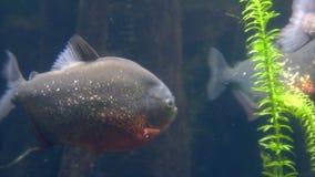 Carnívoro peligroso de los pescados - piraña roja del vientre almacen de video