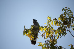 Carnaby's Black Cockatoo in Pecan Nut tree in autumn. Royalty Free Stock Image