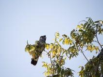 Carnabys schwarzer Kakadu im Pekannussbaum am frühen Morgen im Herbst Lizenzfreie Stockbilder