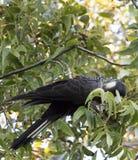 Carnabys schwarzer Kakadu im Pekannussbaum am frühen Morgen im Herbst Stockfoto