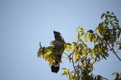 Carnabys schwarzer Kakadu im Pekannussbaum im Herbst Lizenzfreies Stockbild