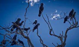 Carnabys schwarzer Kakadu-Sonnenaufgang Stockbild