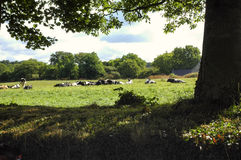 Carnac (Brittany, France): cows Royalty Free Stock Image