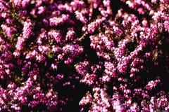 Carnacina del herbacea de Erica Fotos de archivo