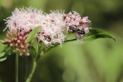 Carnaria Sarcophaga или общая муха плоти на пеньк-agrimony Стоковое Изображение RF