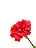 Carnation Royalty Free Stock Image