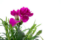 Carnation. Beautiful pink carnation against the white background Royalty Free Stock Photos