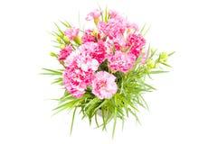 Carnation Stock Photos