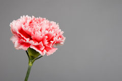 Carnation Royalty Free Stock Photo
