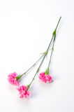 Carnation. Plant series    Carnation. available for clipping work Royalty Free Stock Images