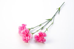 Carnation Stock Photos