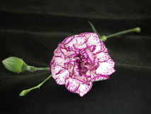 Carnation 3. Carnation on black royalty free stock photo