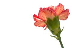 Carnation Stock Photography