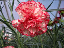 Carnation. The carnation, as it is known in North America, has a brittle, slightly branching stem, narrow opposite leaves, and large terminal double flowers royalty free stock images