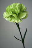 Carnation. A fresh green carnation stands in front of a gray background Stock Image