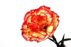 Carnation. Fresh carnation on a white background Royalty Free Stock Photo