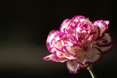 Free Carnation Royalty Free Stock Images - 7456189