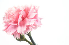 Carnation. On white, space for messages stock photo