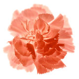 Carnation Stock Photo