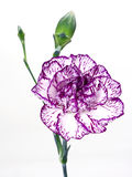 Carnation. Focus on flower stock photography